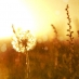 dandelion in field at sunset