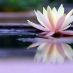 Lotus flower on pond