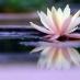 Lotus flower on pond
