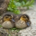 Two ducklings
