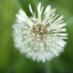 dandelion ball
