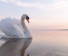 A swan on a lake