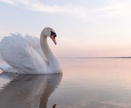 A swan on a lake