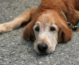 Old dog, sad dog