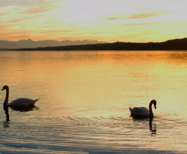 swans on a lake sunset