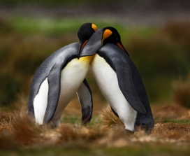 Penguins embracing