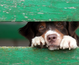 dog looking through green fence
