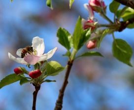Honey bee on a cherry blossom