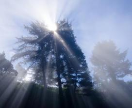 Sunlight through fir trees