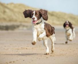 Spaniels running on beach