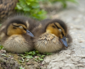 two sleeping ducklings