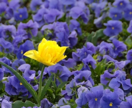 One yellow flower in a field of blue pansies