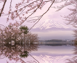 Blossom in front of Mount Fuji