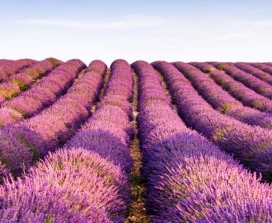 Lavendar Fields in Provence