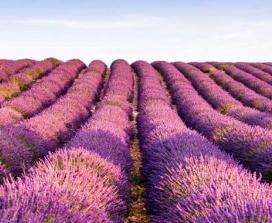 Lavendar Fields in Provence