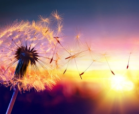 A dandelion loses its petals in the breeze
