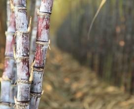 Sugar cane Grove