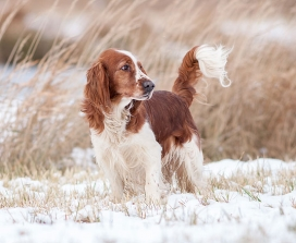 A Welsh springer spaniel