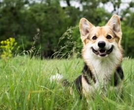corgi in the grass