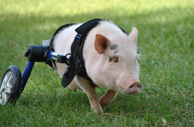 20 Facts About Chris P. Bacon - America's Favorite Pig On Wheels